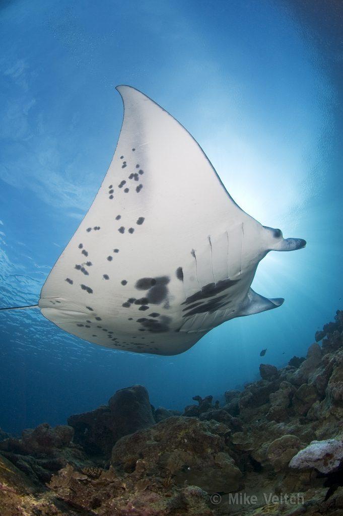 Manta Ray, Palau - Yap Divers