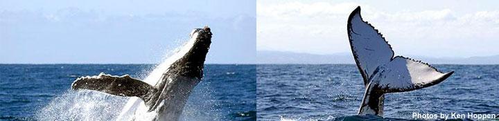 Whales breaching in Tonga