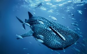 Whale shark - underwater photography