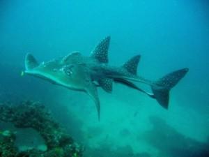 Bowmouth Guitar Shark