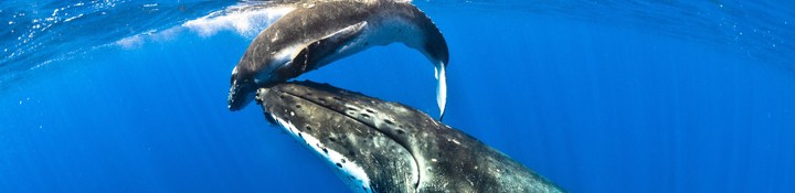 Humpback whale and calf in Niue
